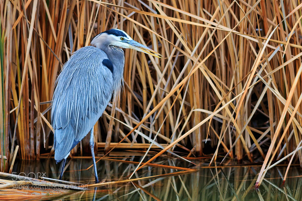 Photograph Gazing GBH at Bosque del Apache NWR by Michael Menefee on 500px
