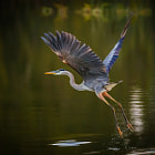 A great blue heron launches up and out of the water to move to another spot.  Shot taken just after sunrise one morning.
