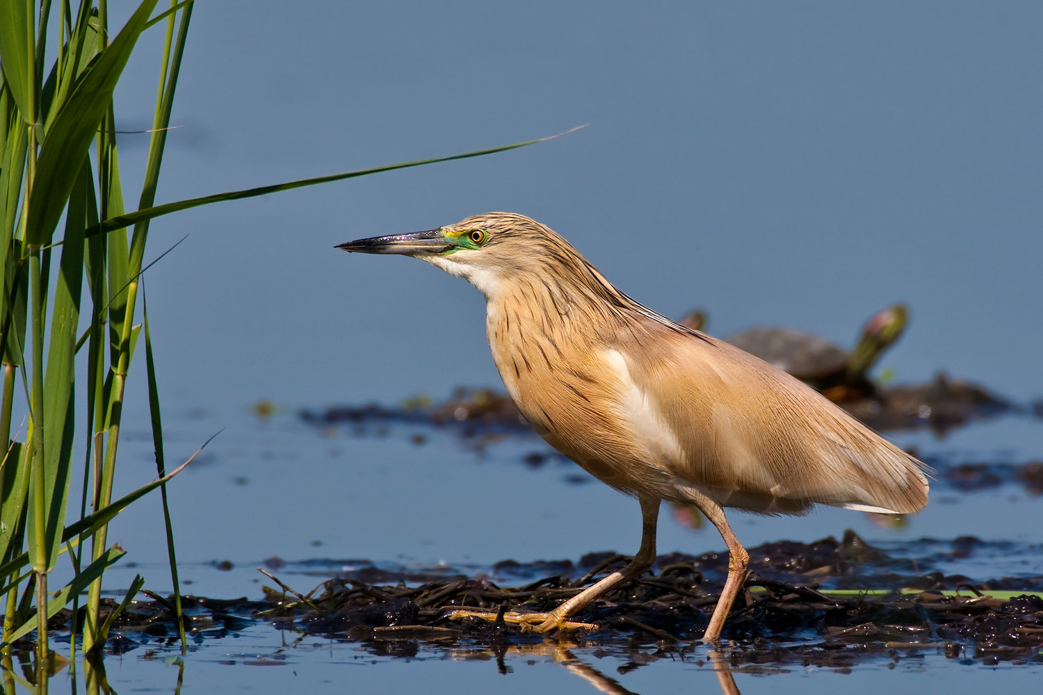 Photograph Squacco Heron (Ardeola ralloides)@1200 mm by Paolo Guidetti on 500px