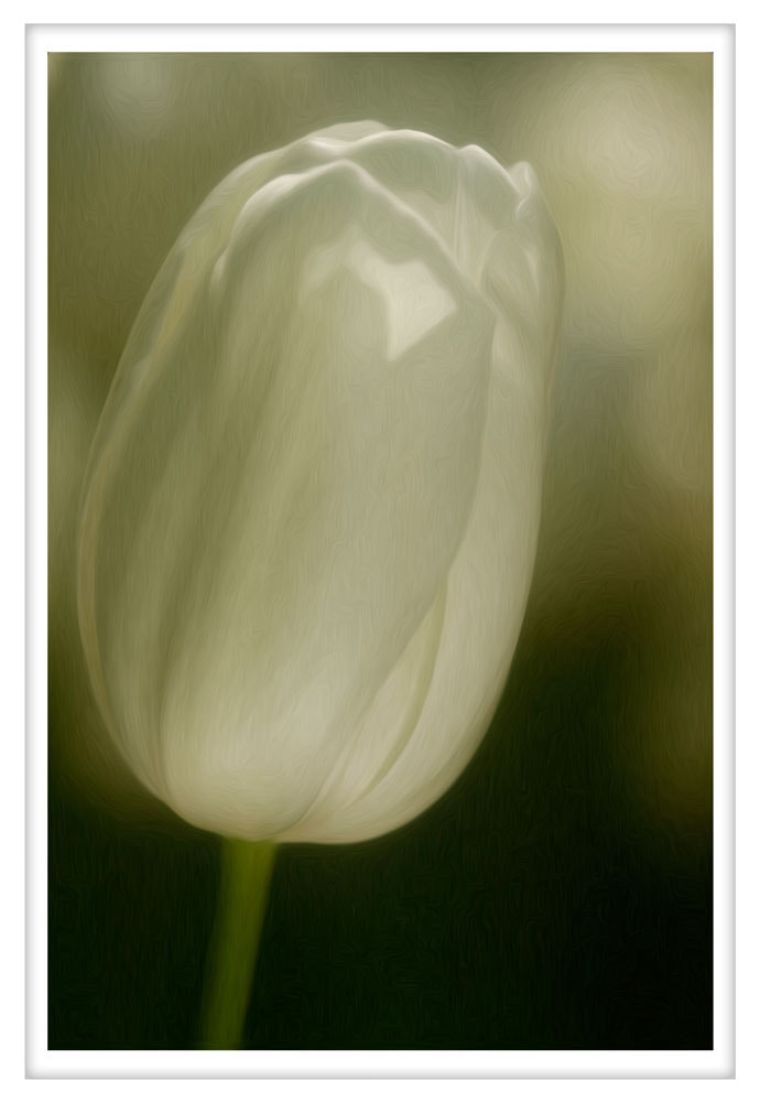 Photograph White Tulip by Małgorzata Tymińska on 500px
