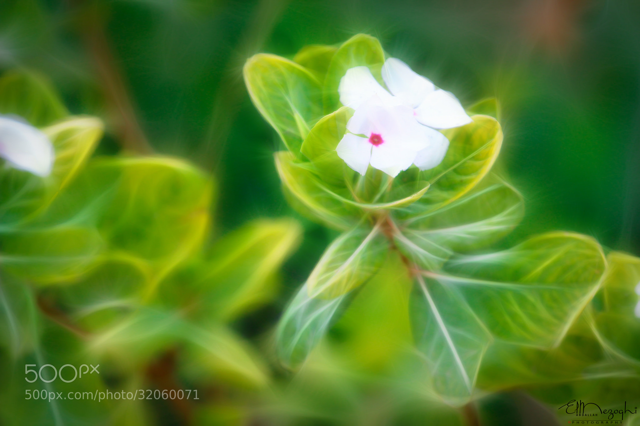 Photograph Spring Rose by AbdallaH ElmezOghi on 500px