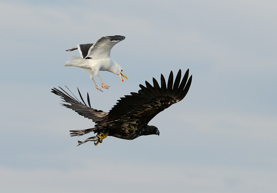 At least that's what it seems the Great Black-backed Gull wants to use the back of the White-tailed Eagle for. In real he of course does try to scare this juvenile in the hope it will drop the fish. Shot taken near Flatanger in the Province of North Trondelag, Norway.  Best regards,   Harry