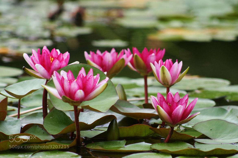 Photograph Water Lily by Alexandra Kosolapova on 500px