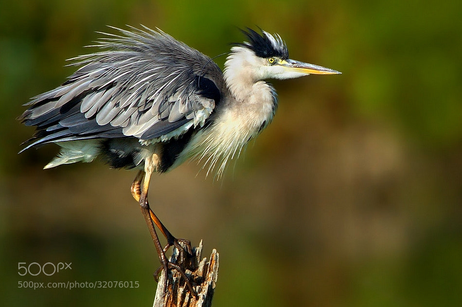 Photograph grey heron by wise photographie on 500px