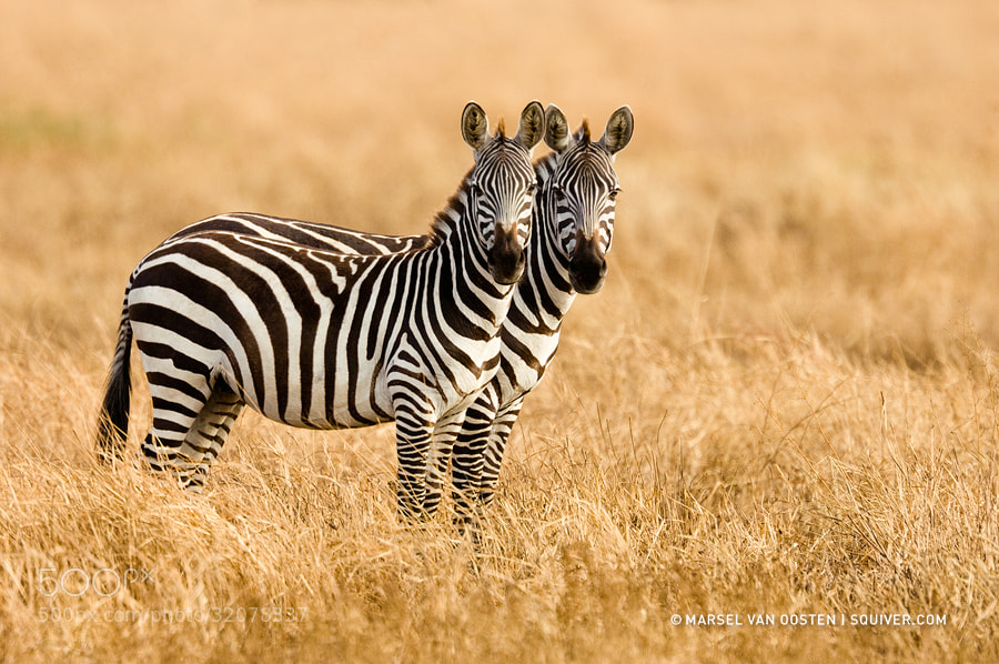 Photograph Siamese Twins by Marsel van Oosten on 500px