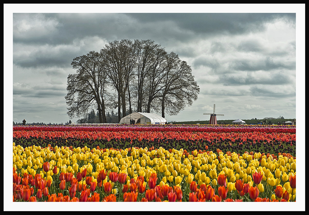 Photograph Tulip Farm by Peter Dang on 500px