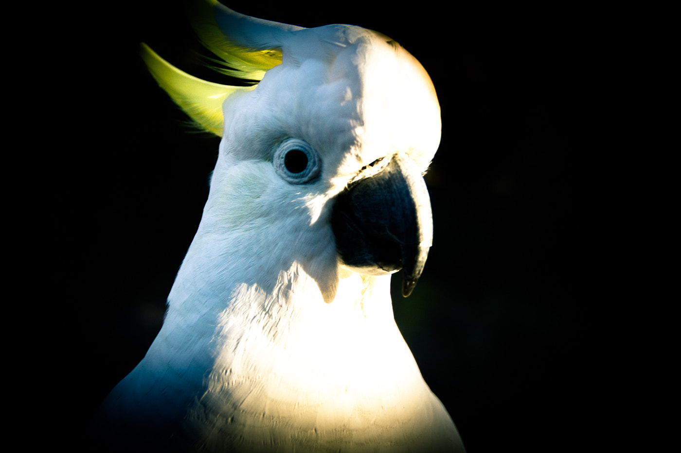 Photograph Sulphur-crested Cockatoo by Yariet  Anne Peers on 500px