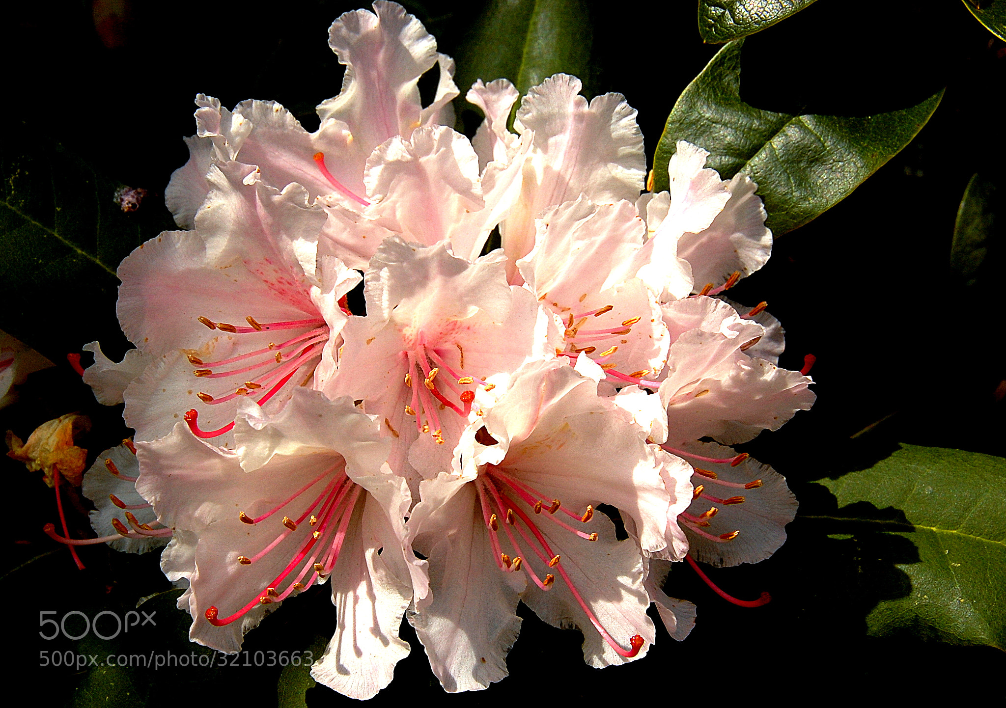 Photograph Rhododendron by Ruud Eelderink on 500px