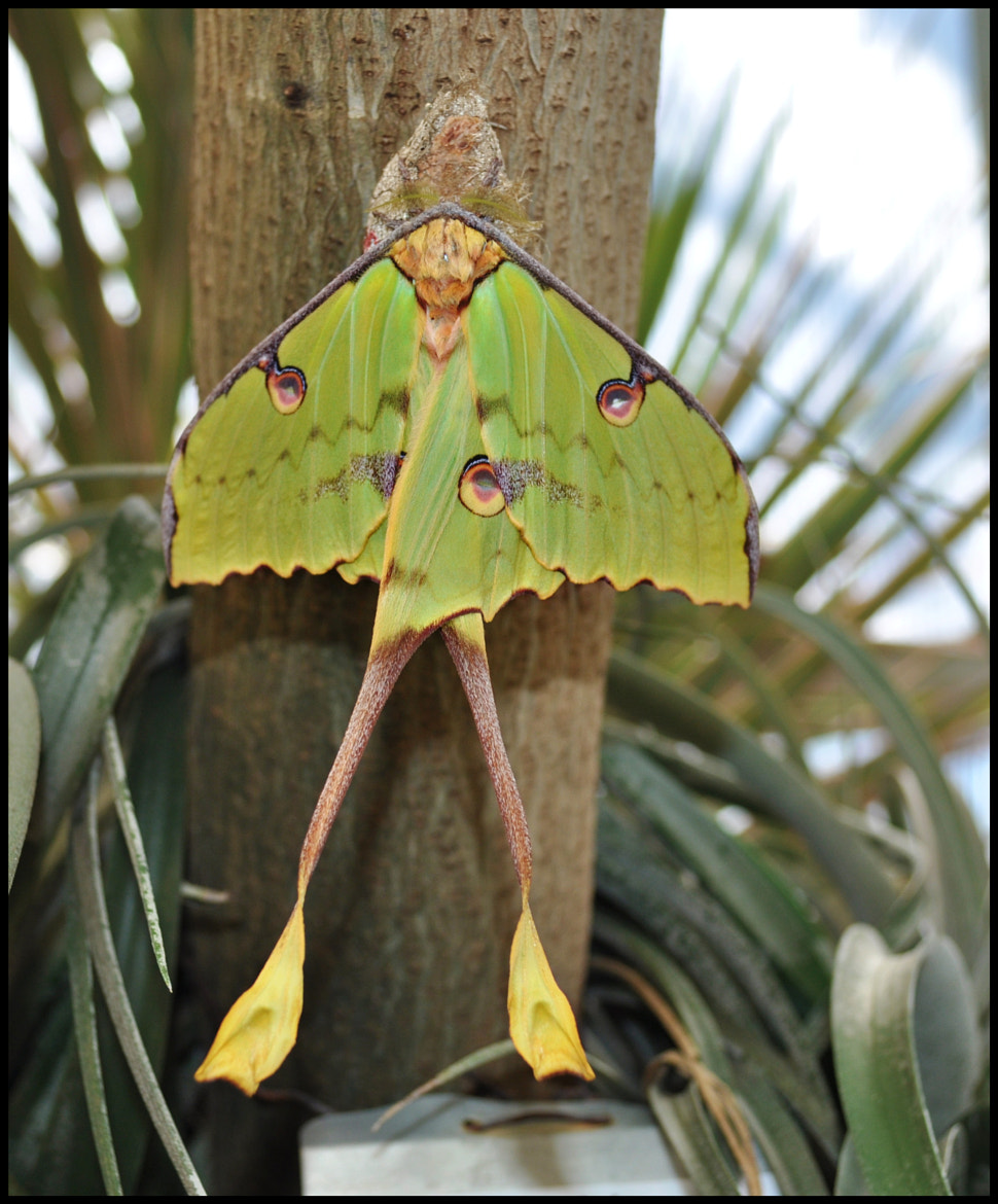 Photograph African Moon Moth by Angella Parker on 500px