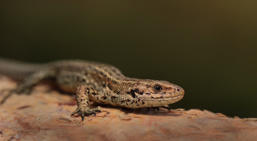 Photograph Common Lizard by ajs73 on 500px