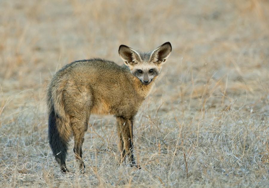 Southern Africa's most beautiful animal?  rarely seen in daylight, taken in Tuli Block Botswana