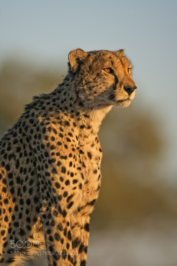 One of the Blood Brotheres taken in Kwando concession Botswana