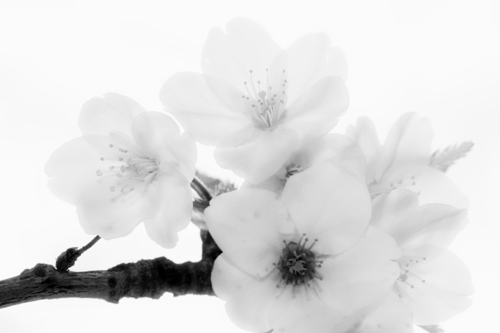 Photograph Cherry Blossom by Anne Costello on 500px