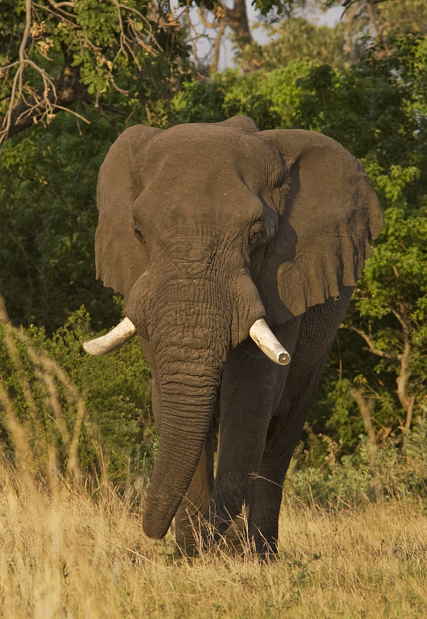 Emerging from the forest and making his way slowly down to the Kwando River, Botswana,