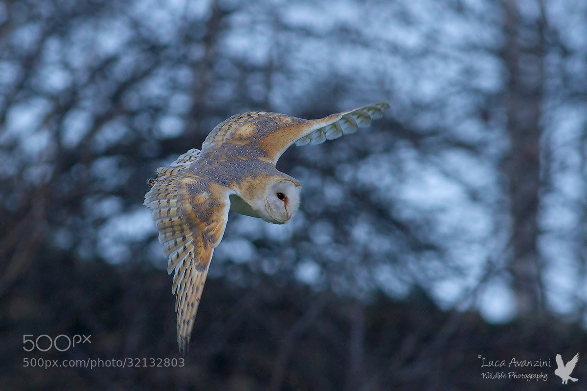 Photograph barn owl by Luca Avanzini on 500px