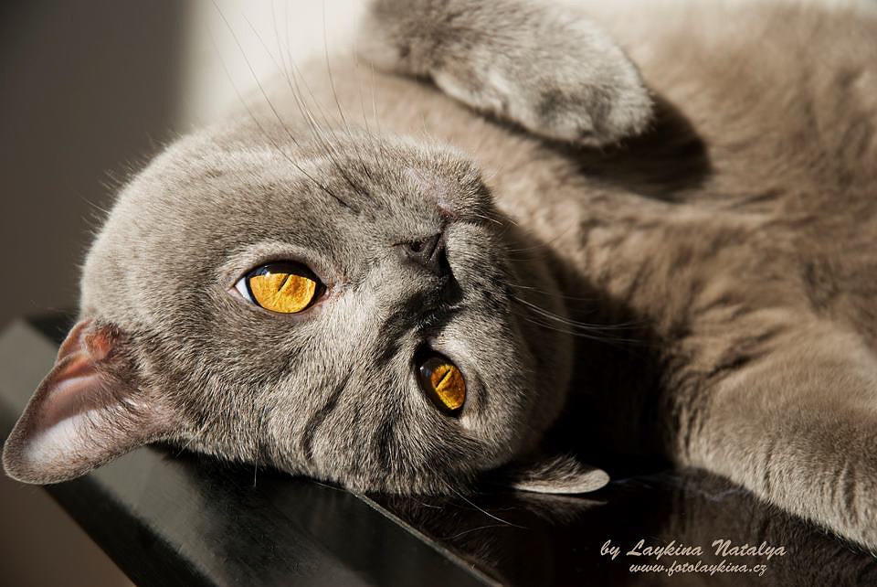 Photograph Blue Cat by Natalya Laykina on 500px