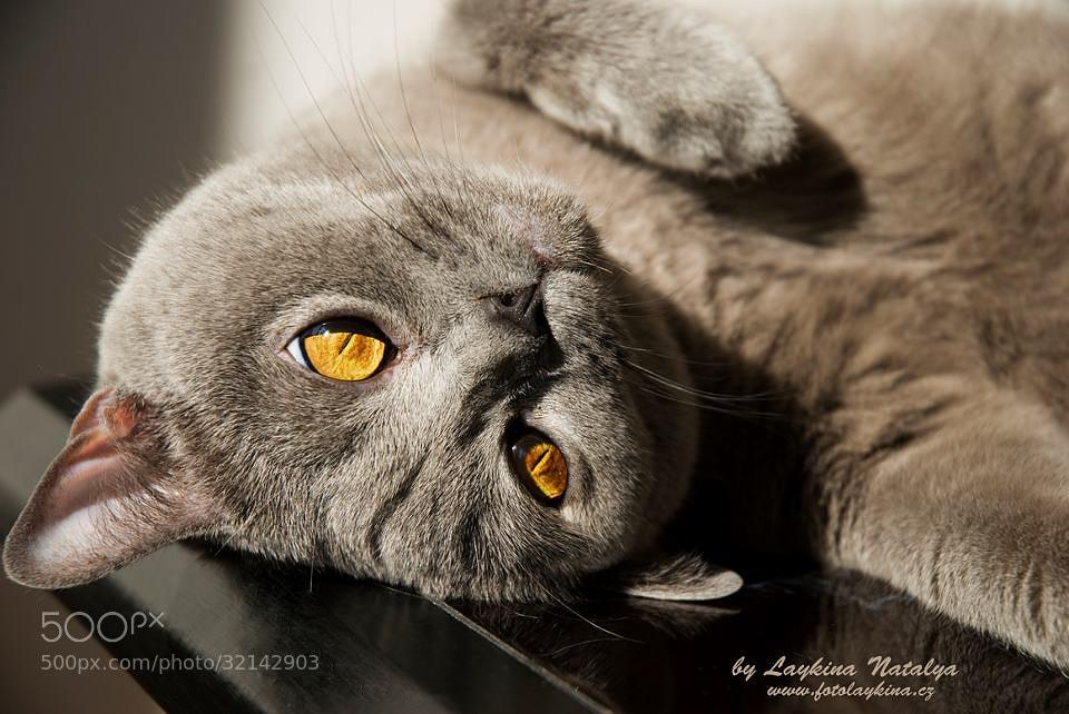 Photograph Blue Cat by Natalya Laykina on 500px