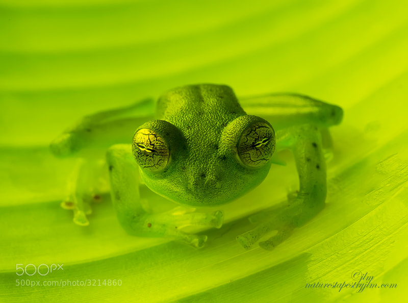 This image was taken last week in La Selva , Costa Rica.  I had heard of the glass frogs but never had had the opportunity to see one.  They are just amazing and you really can see through them.  It was a very special time photogrphing these beauties and a real privelge to see them.