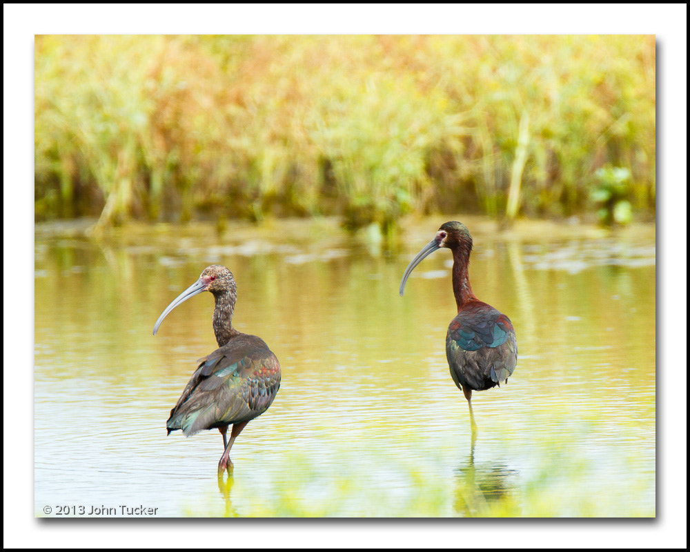 Photograph White-faced Ibis (winter-summer plumage pair) by John Tucker on 500px