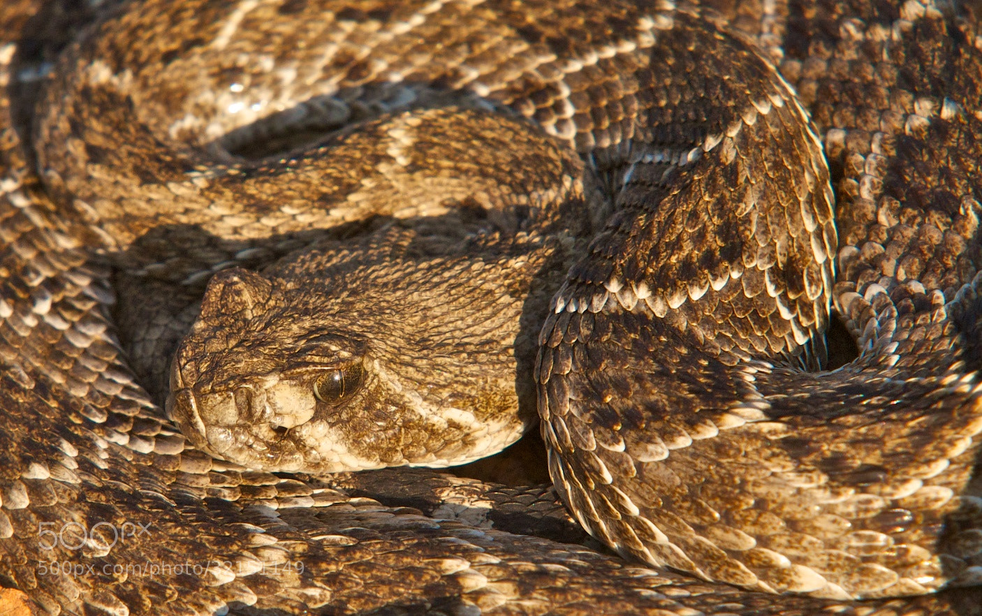 Photograph Another Rattler by Mike Fuhr on 500px
