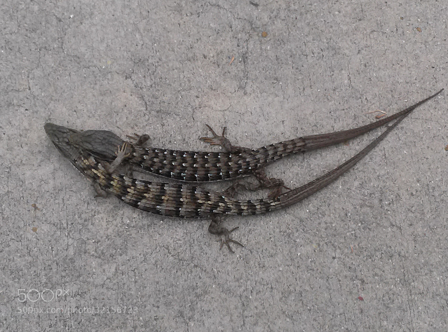 Two lizards hugging on a driveway. Refusing to move at any cost.