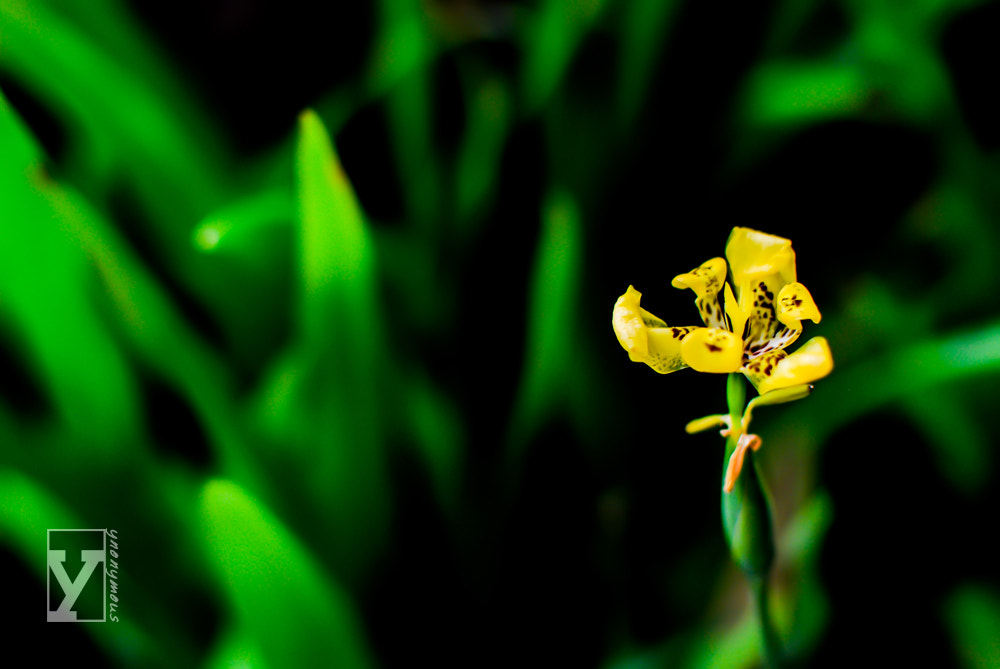 Photograph Yellow Tiger by Ynon Francisco on 500px