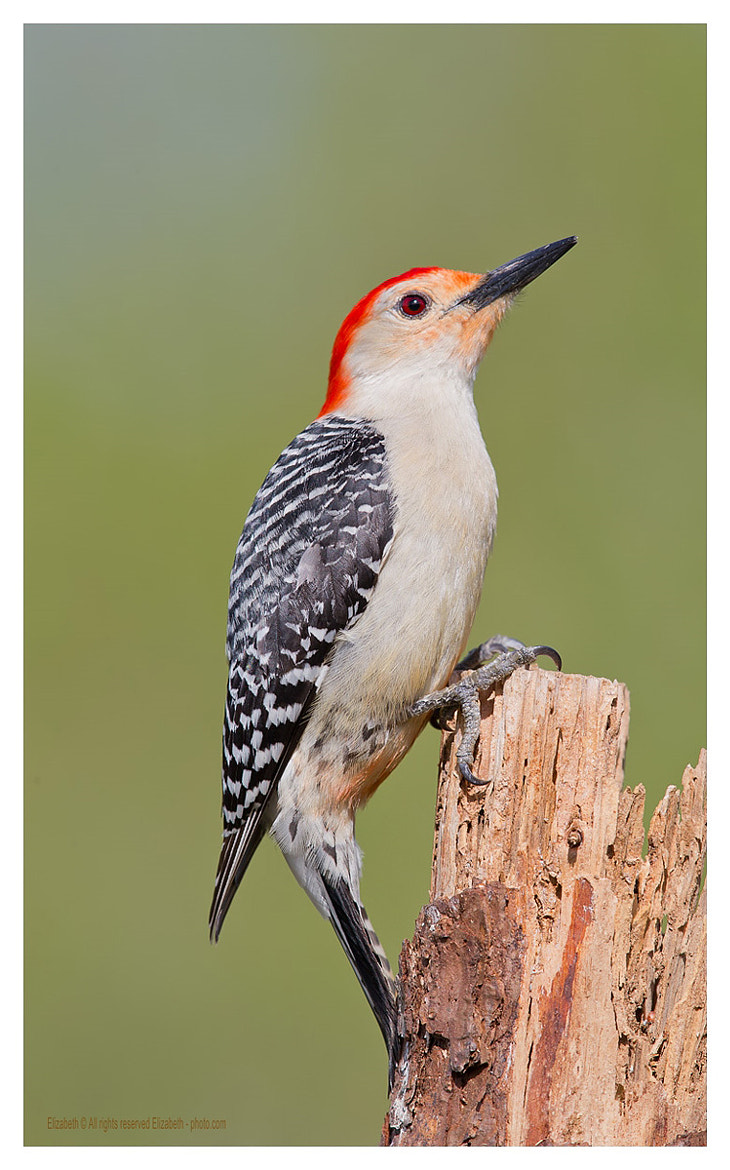 Photograph Red - bellied Woodpecker by Elizabeth  E. on 500px