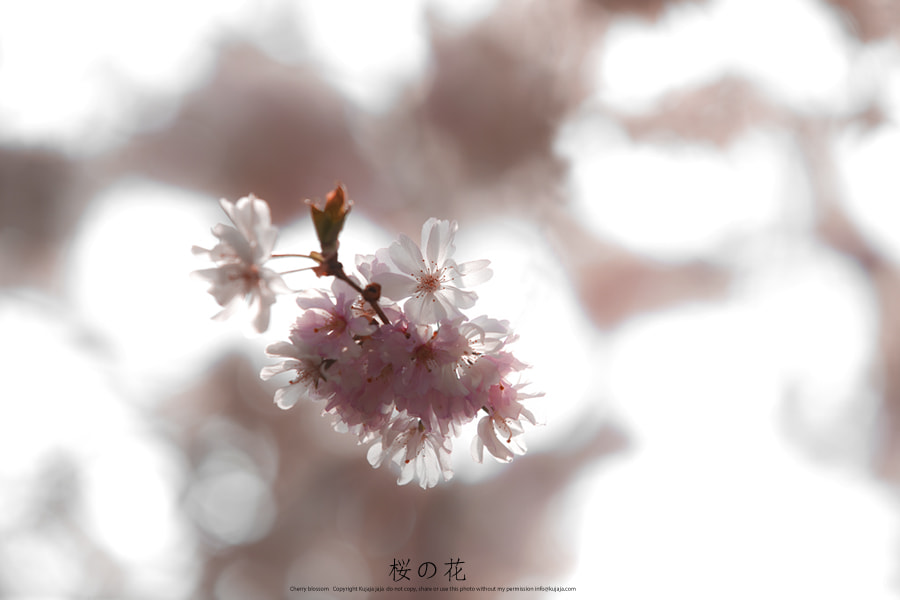 Photograph 桜の花 by K J on 500px