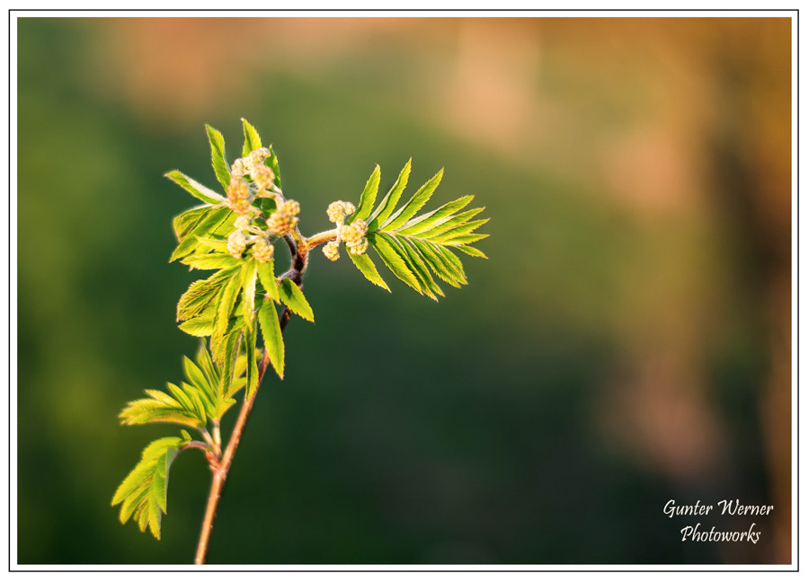 Photograph tree bud by Gunter Werner on 500px
