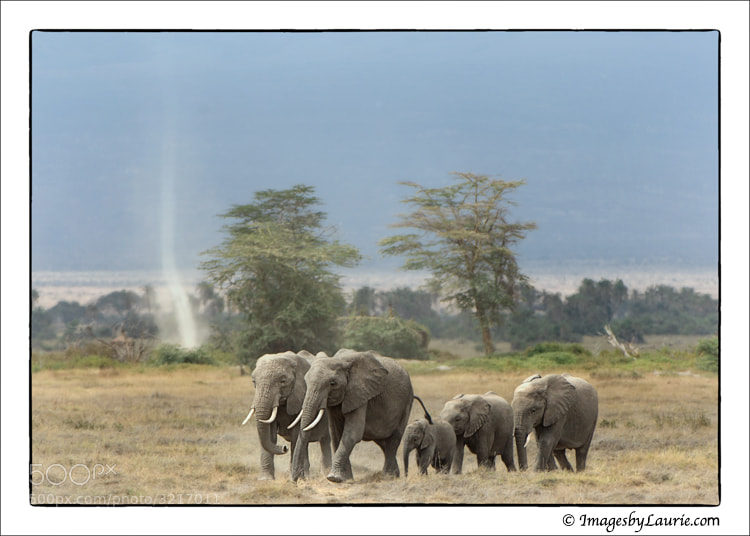 Elephant Herd (Amboseli National Park, Kenya)