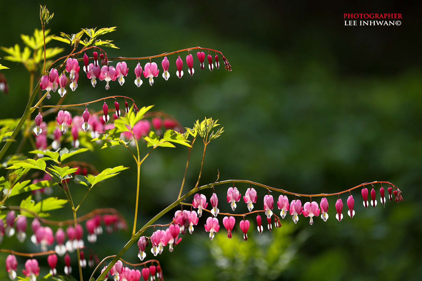 Photograph Bleeding heart by LEE INHWAN on 500px