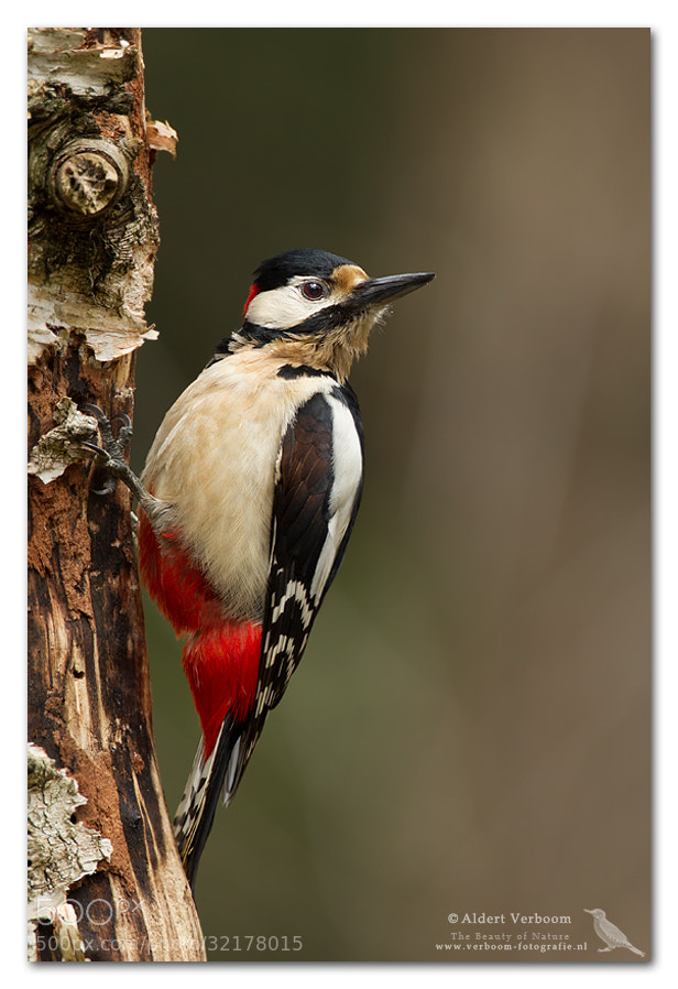Photograph Great Spotted Woodpecker by Aldert Verboom on 500px