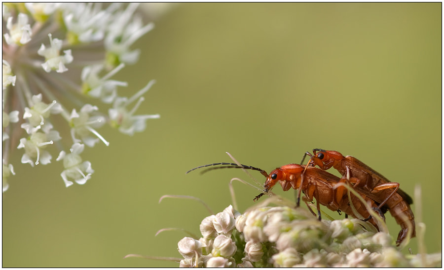 Photograph Common red soldier beetles by Lucy Filippini on 500px