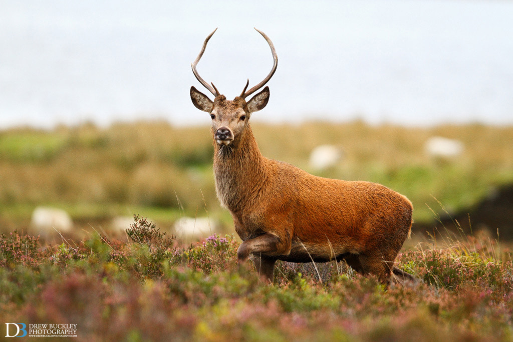 Photograph Red Deer - Pointing by Drew Buckley on 500px