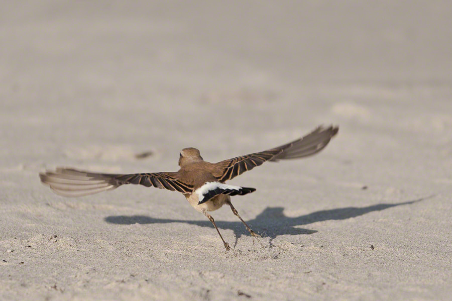 Northern Wheatear leaving the scene after photo shooting