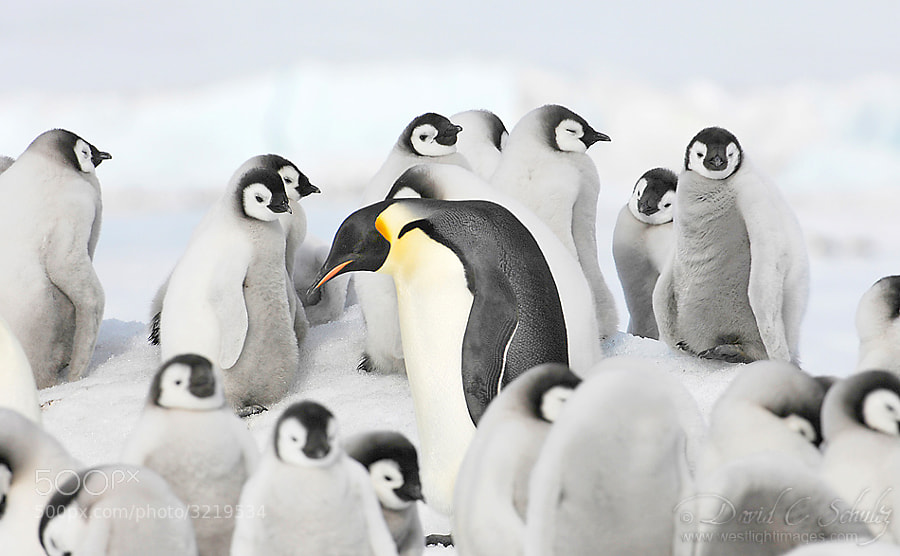 Here's a link to video I shot on this trip of the Emperor penguins if you're interested. http://youtu.be/rLcpYeiQ_DQ