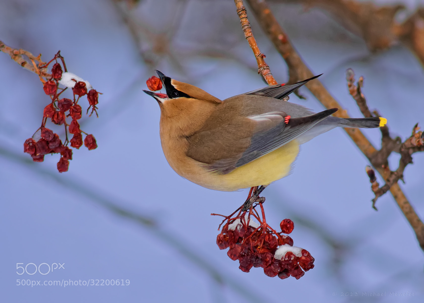 Photograph Waxwing Berry Delivery System by Michael Menefee on 500px
