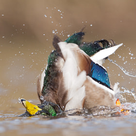 Bath duck by Vincent de Jong (vdejong)) on 500px.com