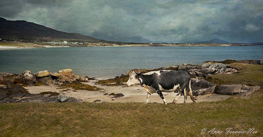 Roundstone Cow