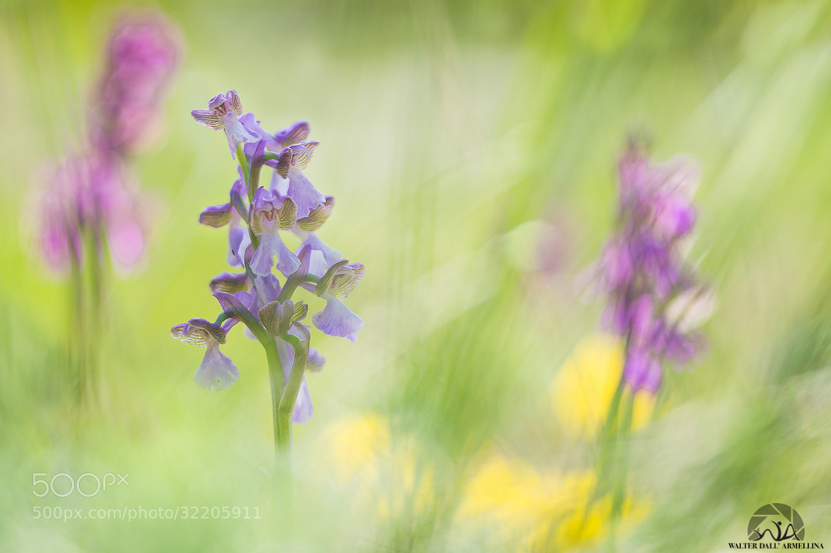 Photograph Triorchis by Walter Dall'Armellina on 500px