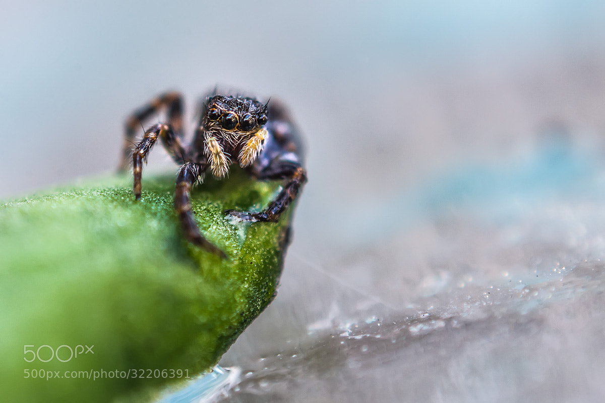 Photograph Jumping spider by invertedlens on 500px