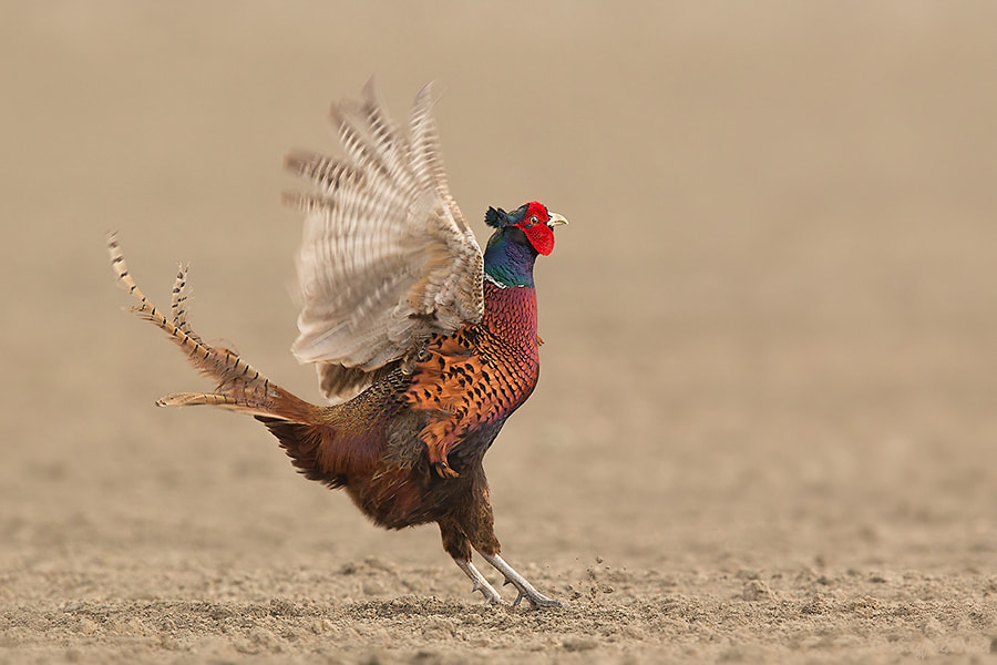 Photograph Pheasant - Displaying II by Siegfried Noët on 500px