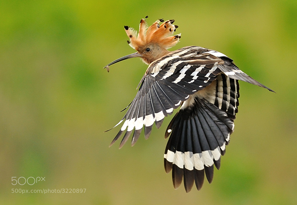 Photograph Hoopoe by Csilla Zelko on 500px