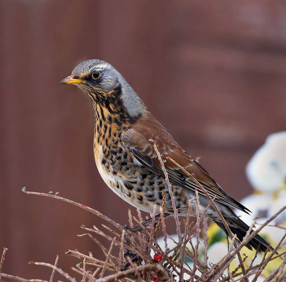 Photograph Fieldfare by Derek Lees on 500px