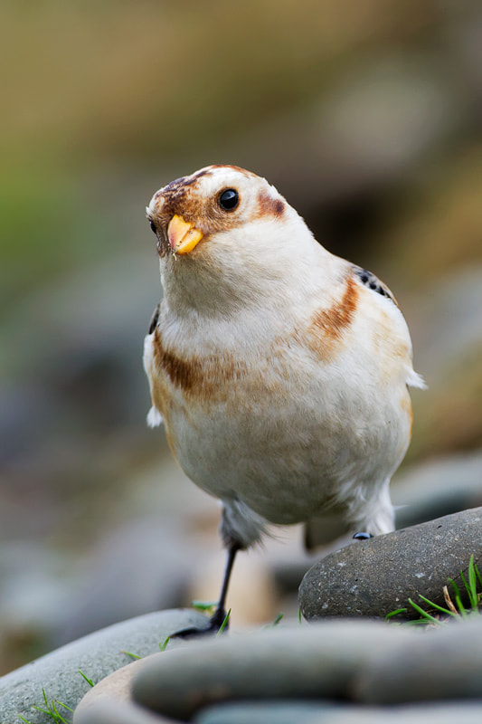 Photograph Snow Bunting, Isle of Man by Pete Hadfield on 500px