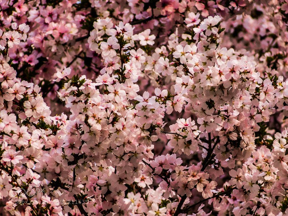 Photograph Cherry tree. by Michal Jenčo on 500px