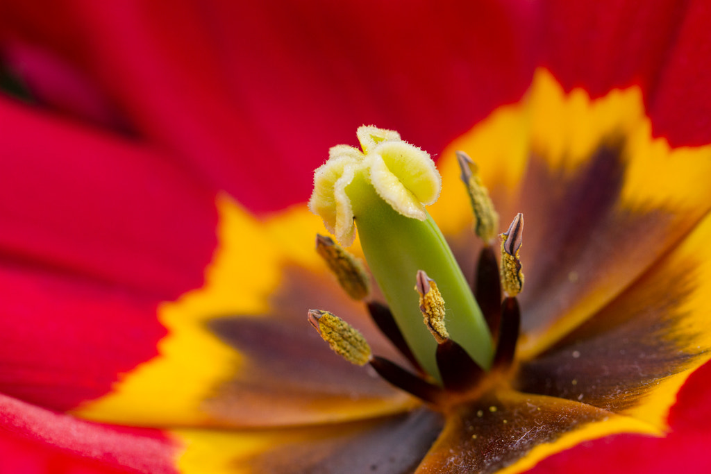 Photograph Tulipomacro by Steve Trefois on 500px