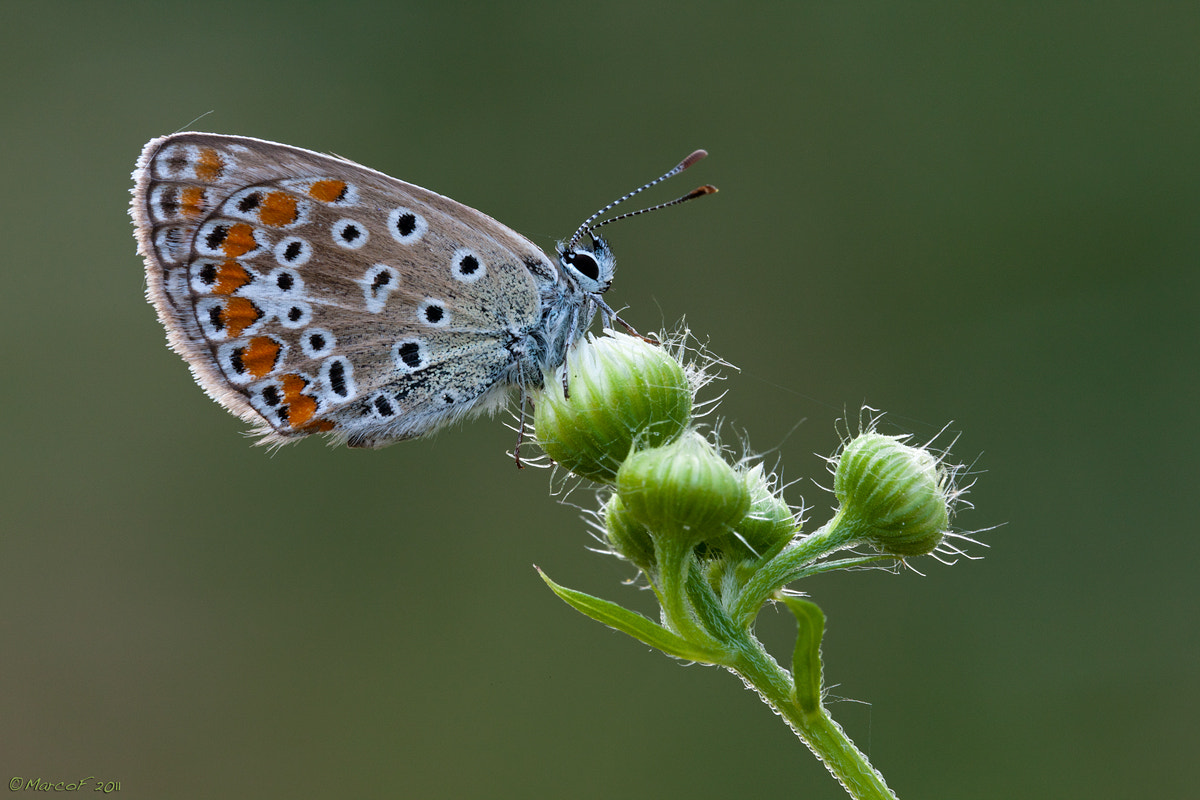 Photograph Polyommatus icarus by Marco Franzini on 500px
