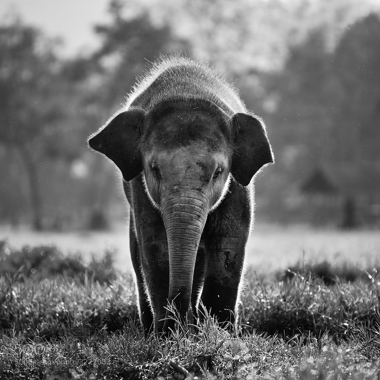 Photograph Baby Elephant by Nunni Konn on 500px