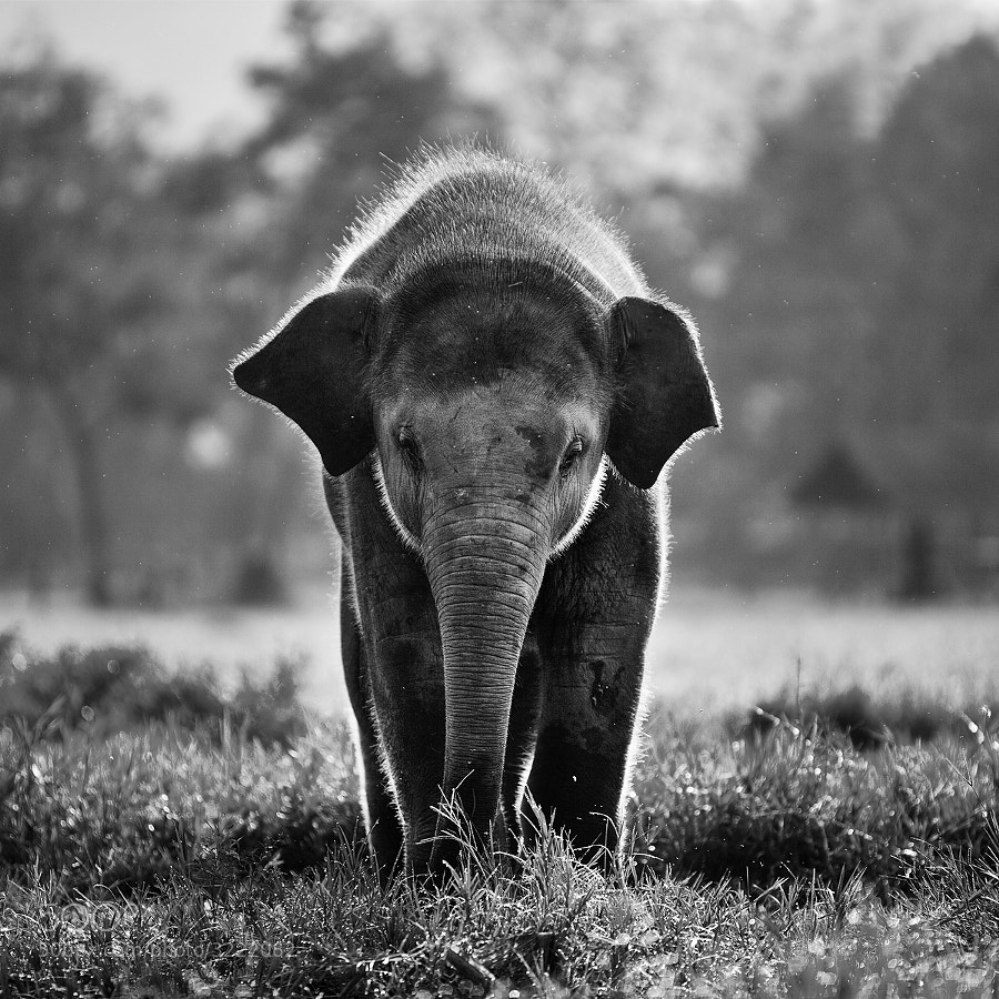 Photograph Baby Elephant by Nunni Konn on 500px